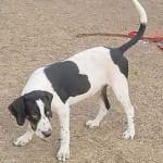 hound1_8-4-00.jpg