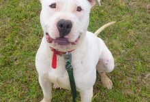 """Dee Dee says """"YAY"""" October is adopt a Pittie month."""